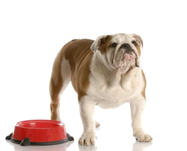 an English Bulldog patiently waiting for his food