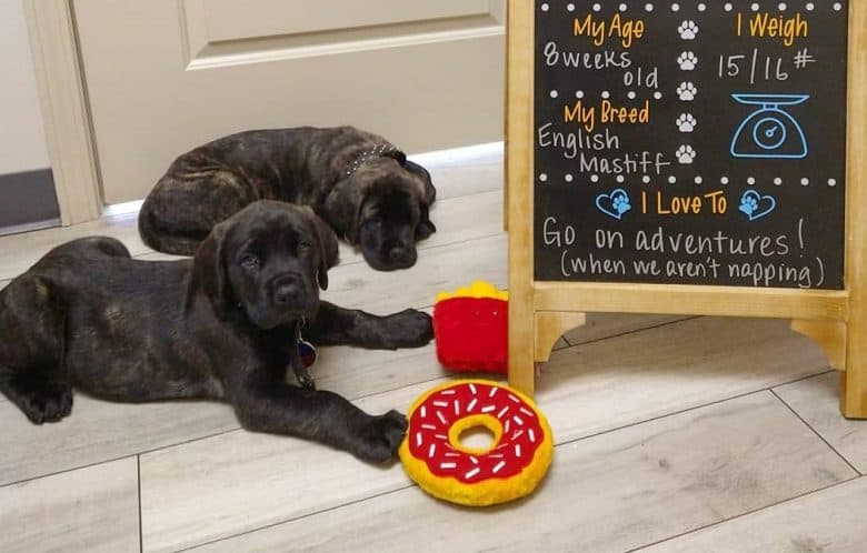 Two English Mastiff puppies with a blackboard