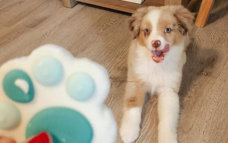 a happy Aussie puppy waiting for his paw treat