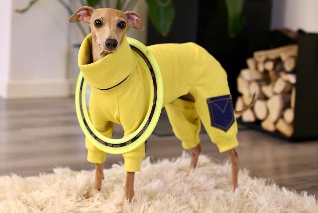 an Italian Greyhound wearing a jumpsuit pair with his toy