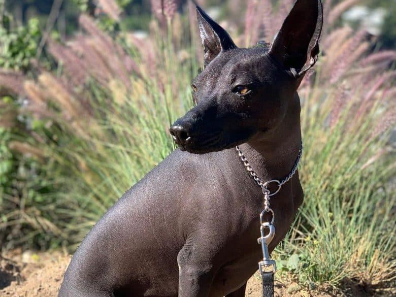 a Xoloitzcuintli, a hairless dog on a hike