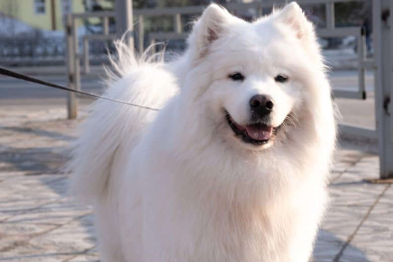 an American Eskimo smiling for a photo op