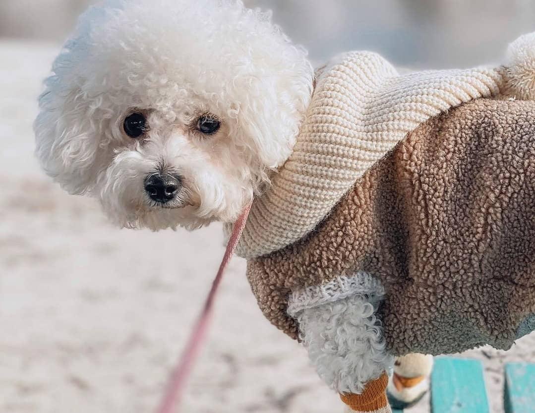 a Bichon Frise wearing a wooly sweater