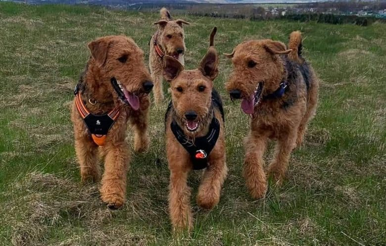 Four Airedale Terriers in the wild