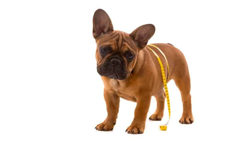 a French Bulldog puppy standing with a tape measure around its belly