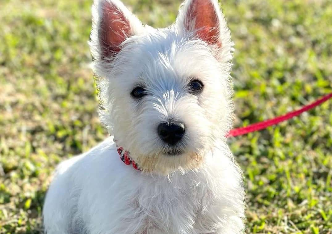 a West Highland White Terrier puppy sitting on the grass