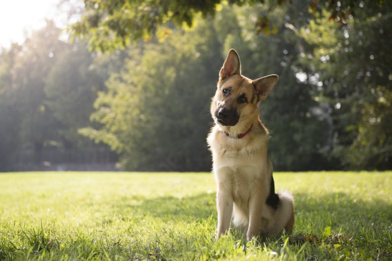 a GSD sitting on the grass with tree background