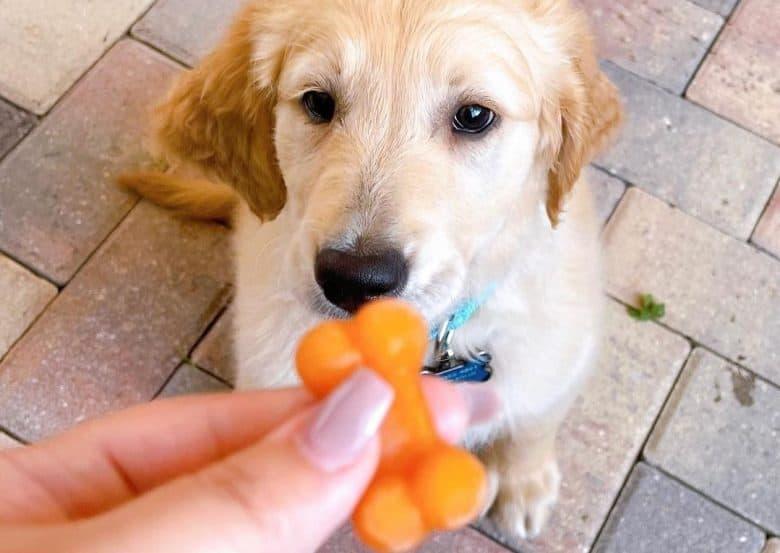a cute Golden Retriever puppy waiting for his homemade treat