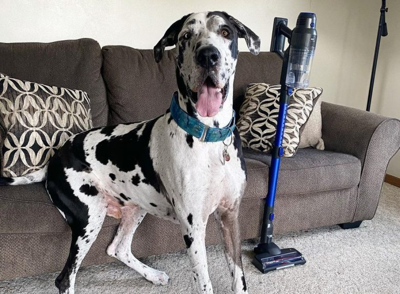 a black and white Great Dane sitting on a couch