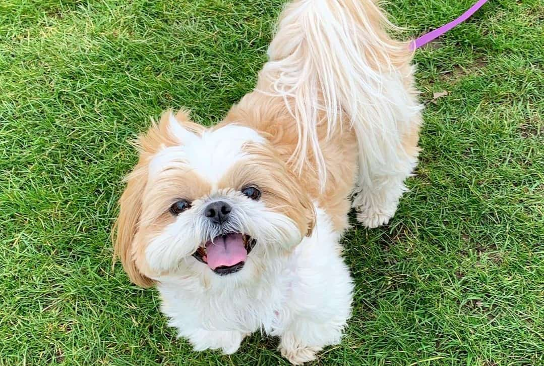 a Shih Tzu happily looking up