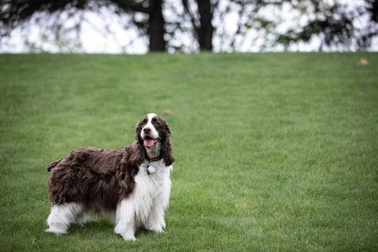 a Springer Spaniel standing on a greenfield happily