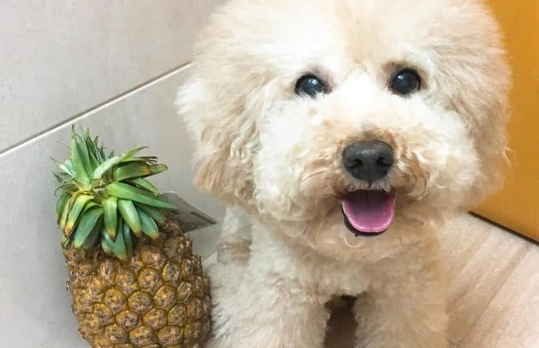 a Toy Poodle sitting beside a pineapple