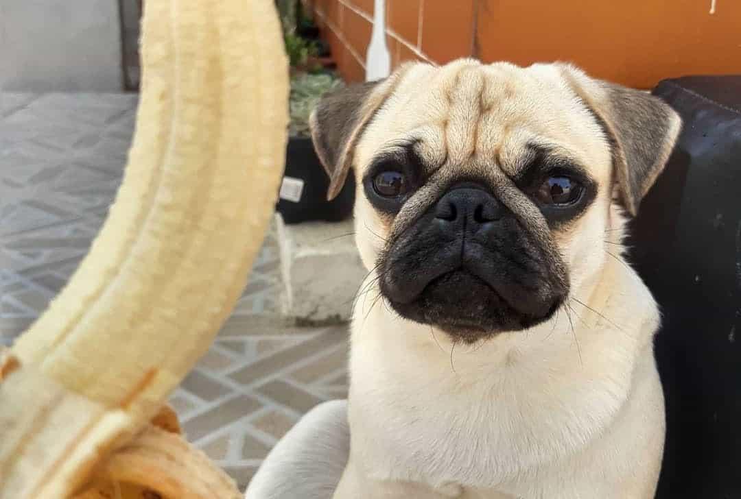 Hungry Pug dog waiting for the banana treat