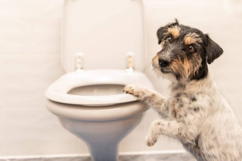 a Jack Russell Terrier standing on a toilet bowl