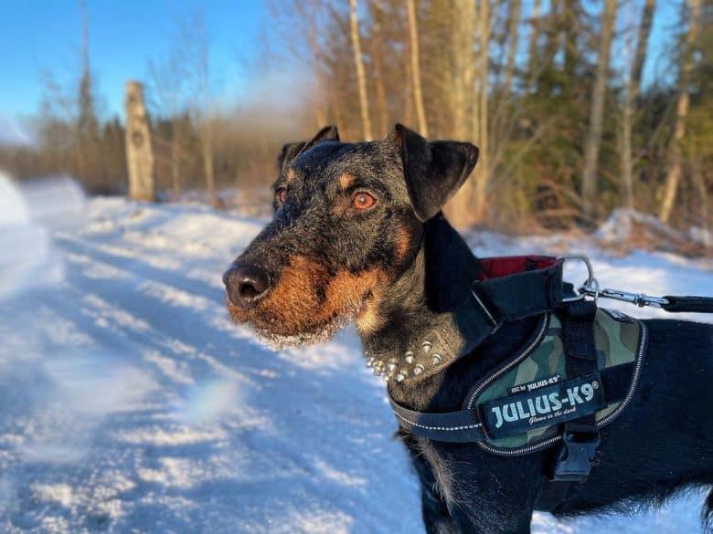 a Jagdterrier on a walk on snow