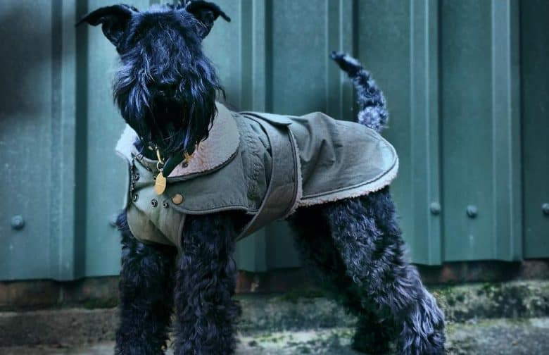 a Kerry Blue Terrier wearing a detective coat