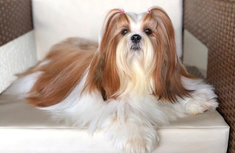 a beautiful Shih Tzu with groomed hair sitting on a chair