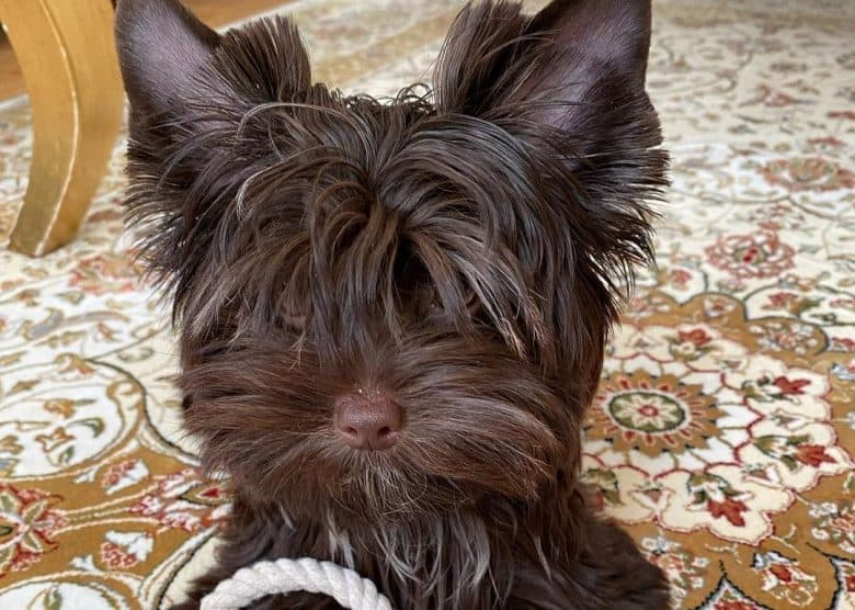 a close-up image of a chocolate Yorkie with a rope
