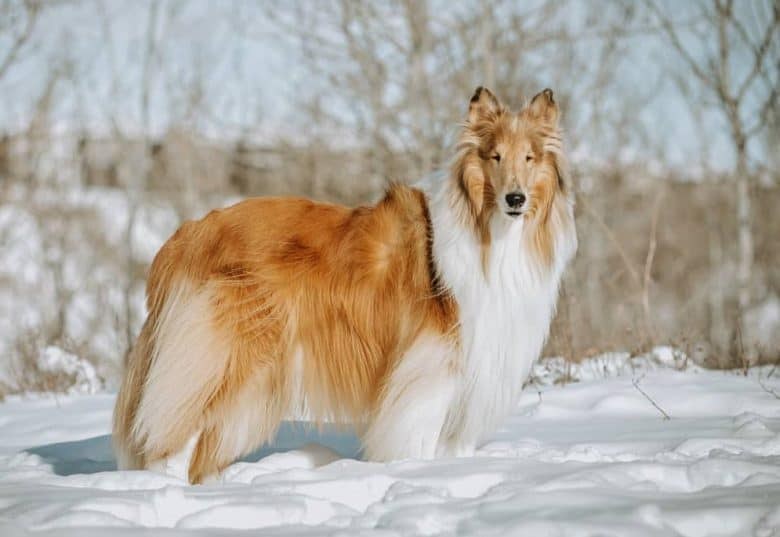 a Rough Collie standing on the snow