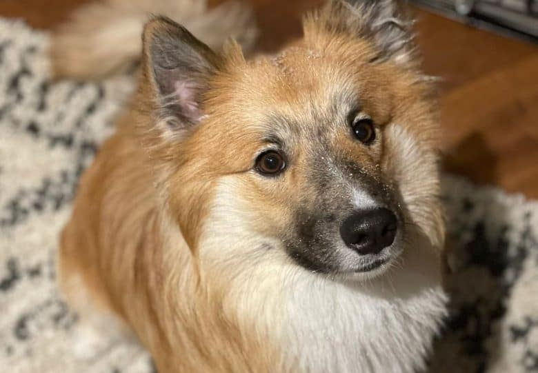 a charming Icelandic Sheepdog sitting while looking up