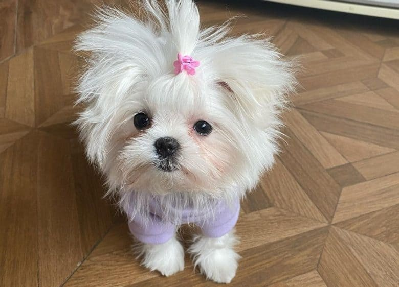a Teacup Maltese wearing a pink clip and lavender sweater
