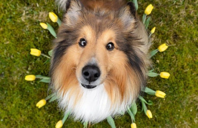 a close-up image of a Shetland Sheepdog sitting in the middle of tulip flowers