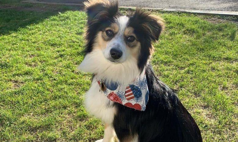 a Mini Aussie puppy under the sunny day