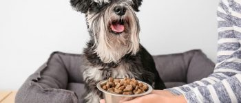 Owner feeding her Schnauzer dog at home