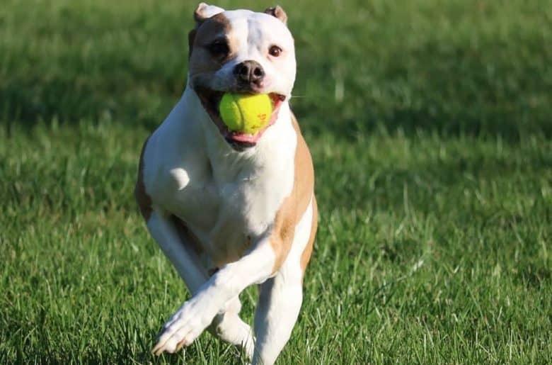 a Painter American Bulldog biting a tennis ball while running