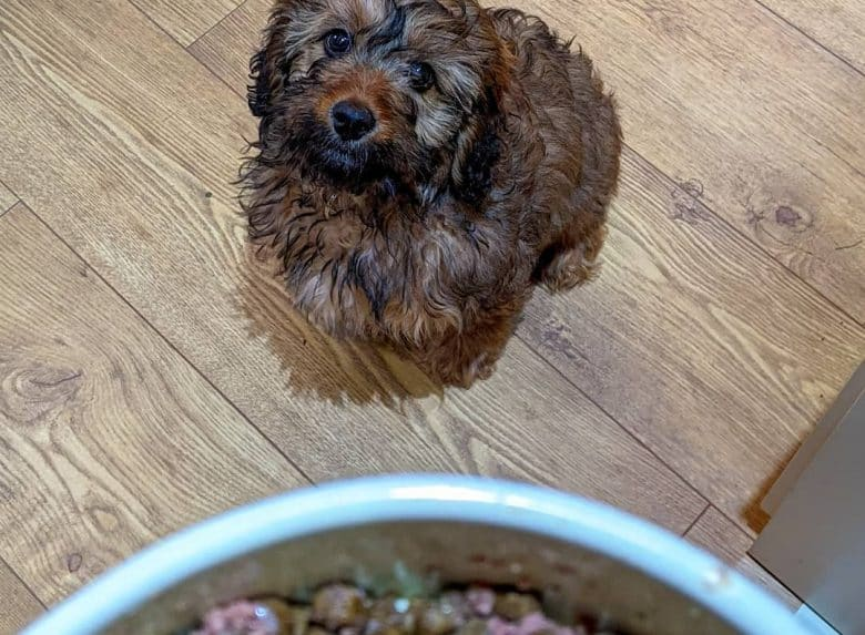 a brown Cavapoo looking up on his dog bowl