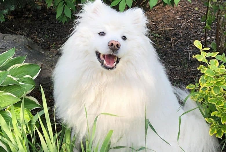 an enchanting American Eskimo sitting in the middle of a garden