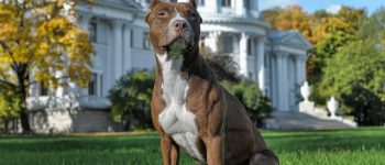a big brown Pittie sitting on the grass
