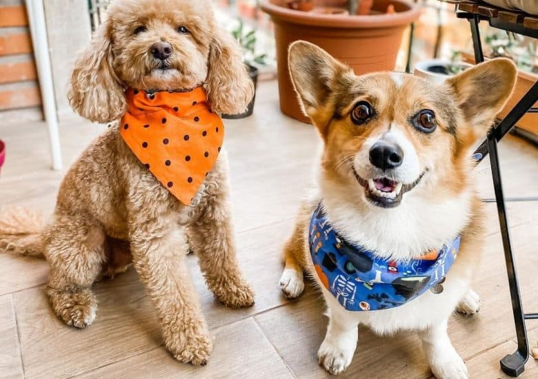 a Poodle wearing an orange scarf and a Corgi with a blue scarf sitting