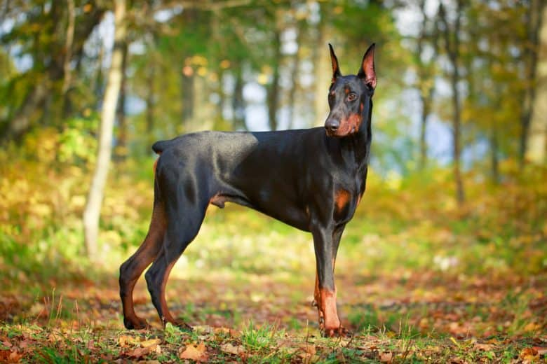 a strong Doberman standing on a forest