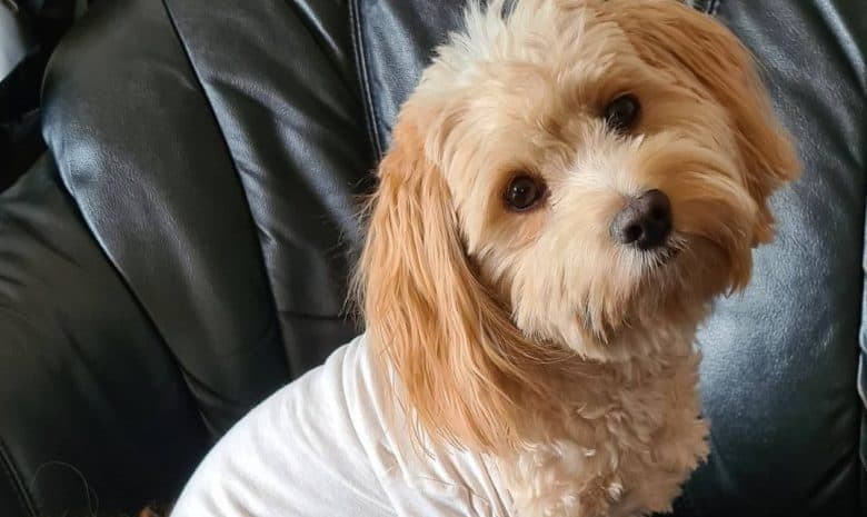 a Havanese sitting and tilting its head