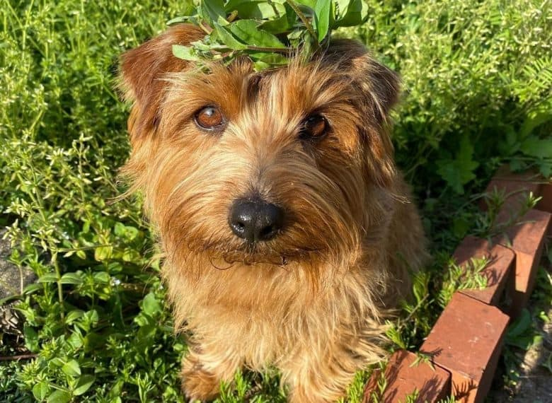 a Norfolk Terrier with leaves on head while sitting