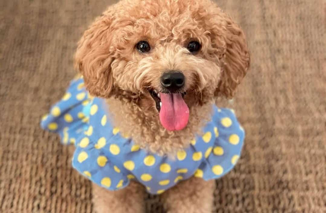 a Poodle wearing a yellow polka dot shirt