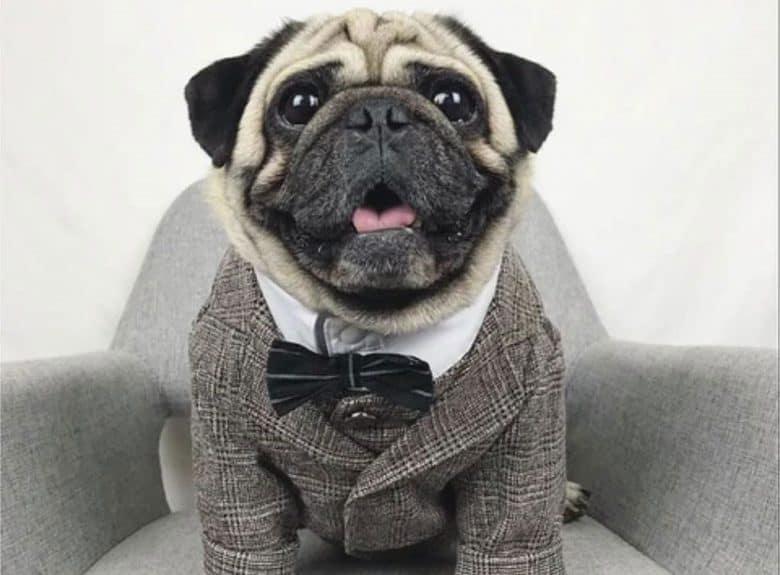 A Pug dog in tuxedo costume