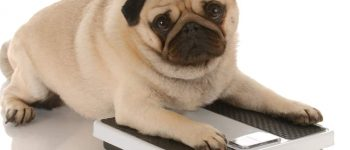 a Pug laying on a weighing scale