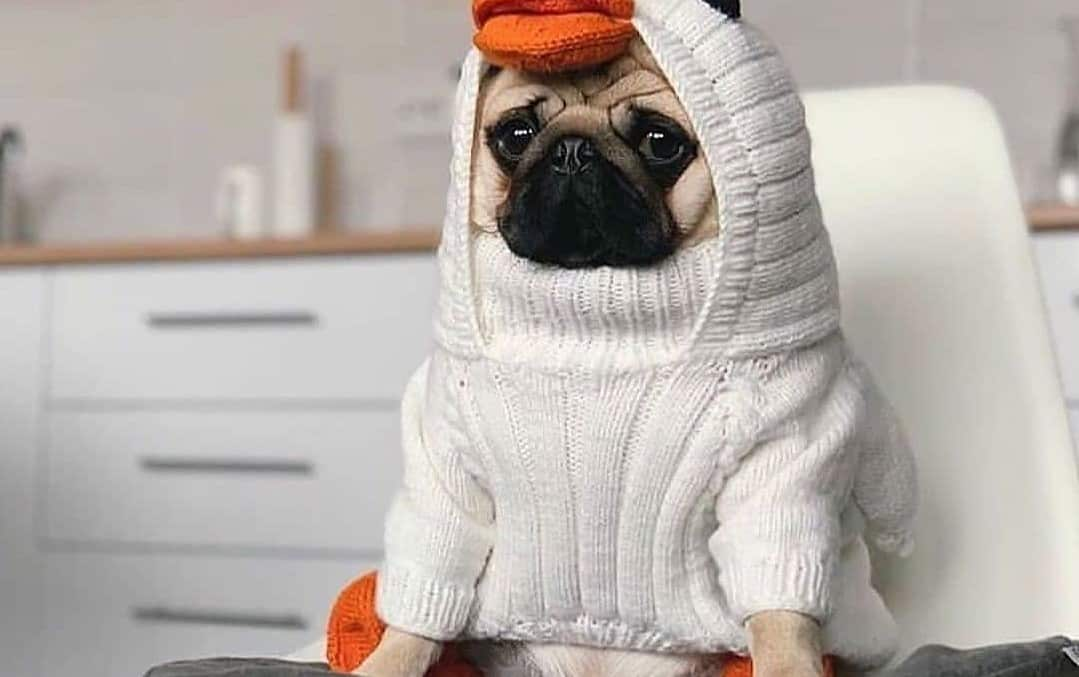 a Pug wearing a duck white costume