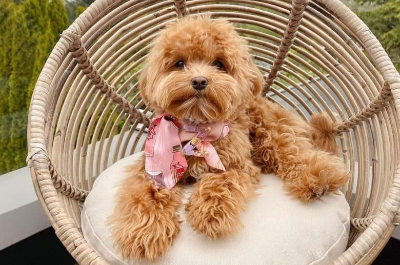 a Maltipoo laying on a soft cushioned chair