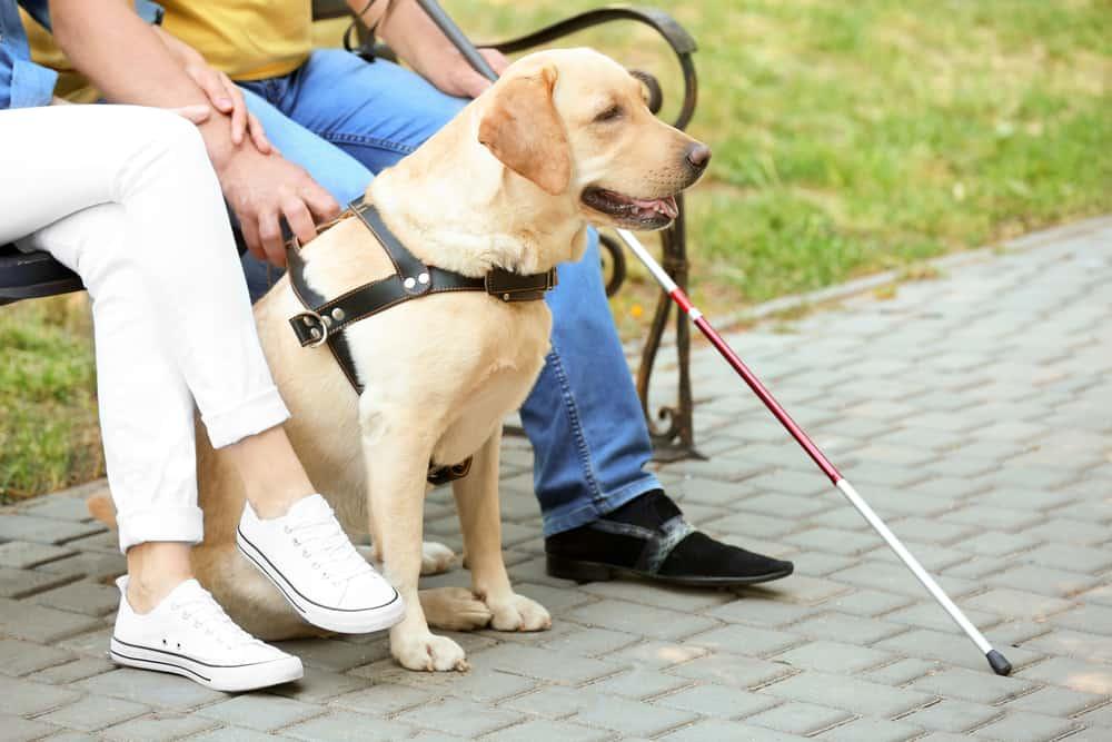 A Labrador Retriever sitting with a blind man its guiding