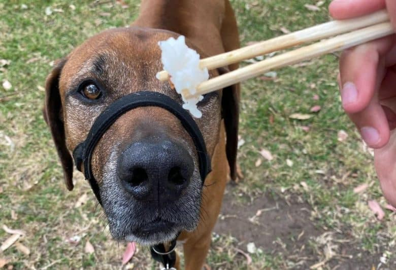 a Rhodesian Ridgeback looking directly at the rice on a chopstick