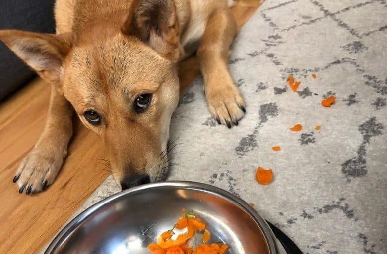 a Jindo laying sadly and disliking carrots