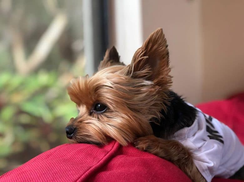 a Yorkie looking outside the window
