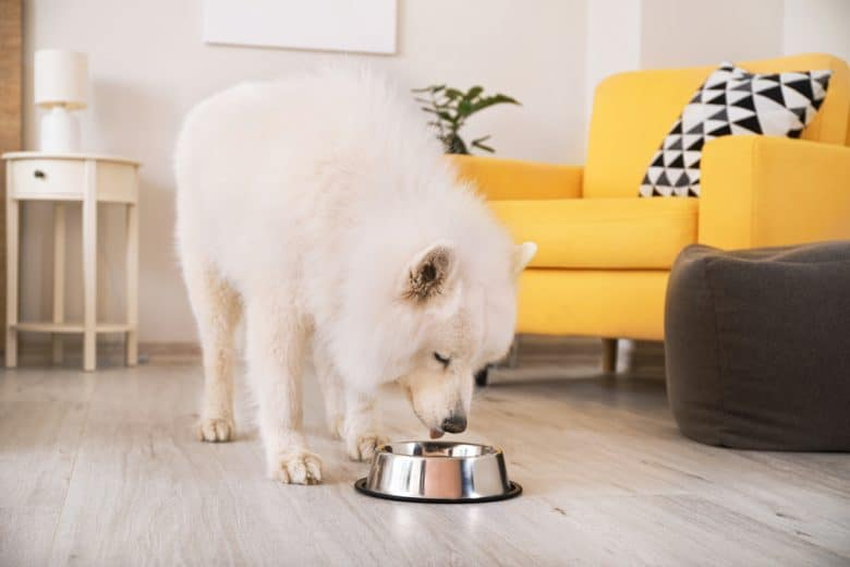 a Samoyed licking the dog bowl clean
