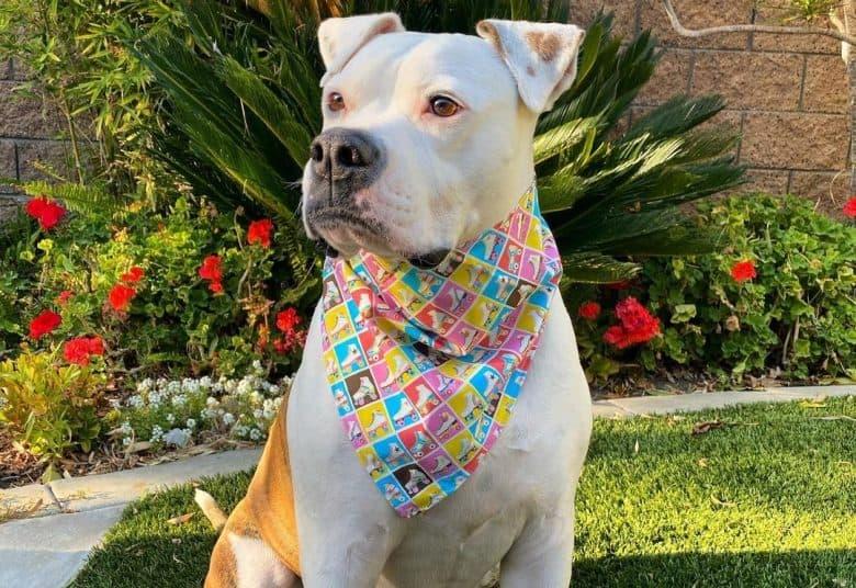 a Scott American Bulldog wearing a colorful scarf