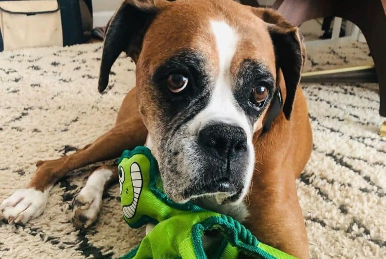 a Senior Boxer playing with its new green toy
