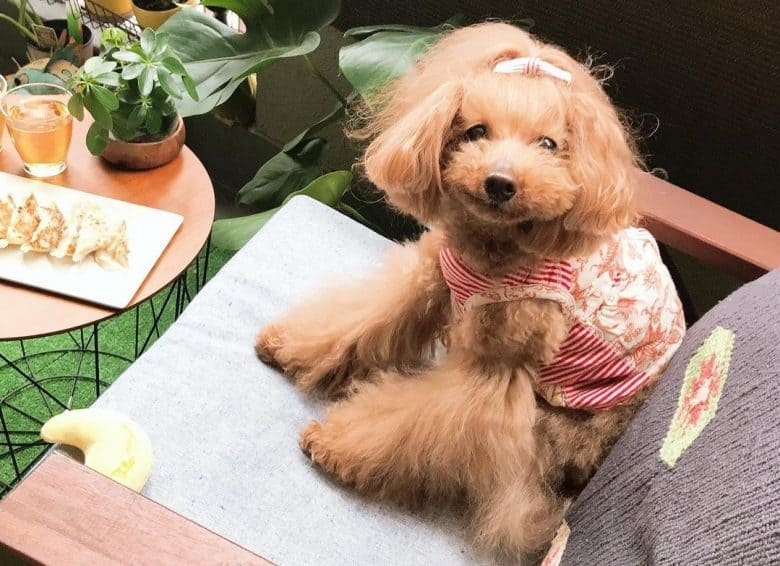 a senior Toy Poodle wearing stripes dress while sitting on a chair