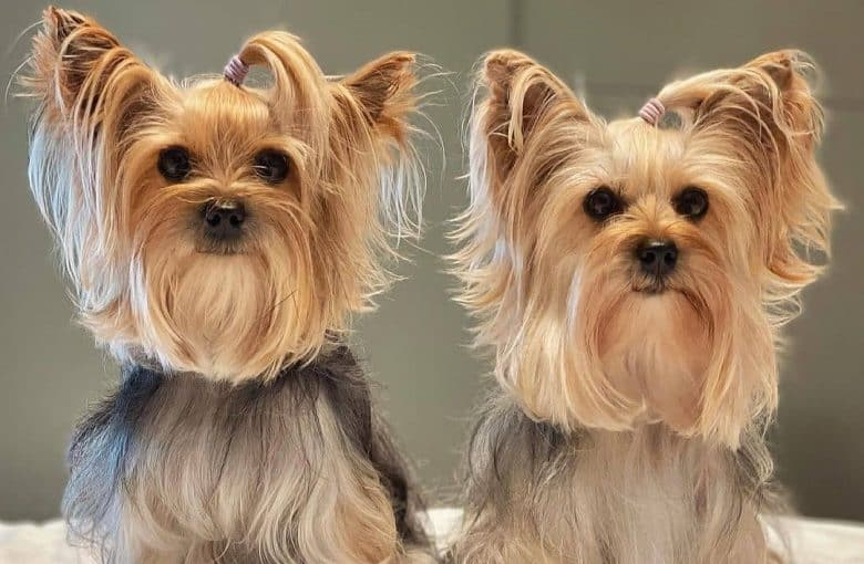 Two Yorkshire Terrier with ponytails sitting